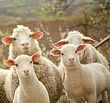 sheep provide wool